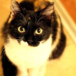 Защо да обмислите осиновяване на по-възрастна котка